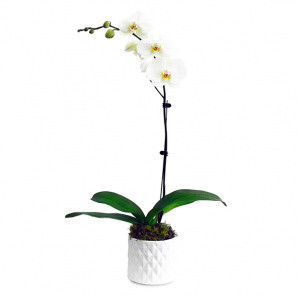 The Only Orchid buy at Florist